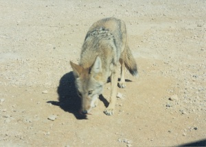 A California coyote.