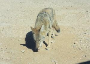 A California coyote.