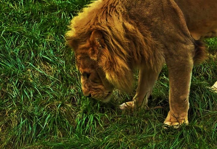 lion youtubecom kolkata zoo