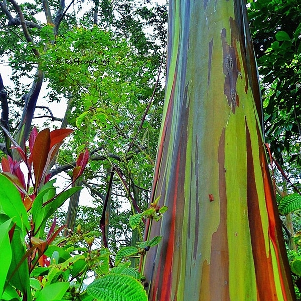 good-morning-peeps-rainbow-eucalyptus-raffaele-salera