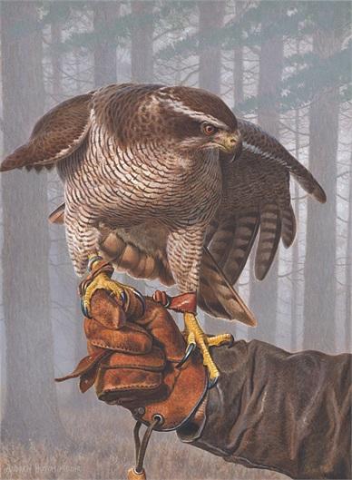 goshawk-bird