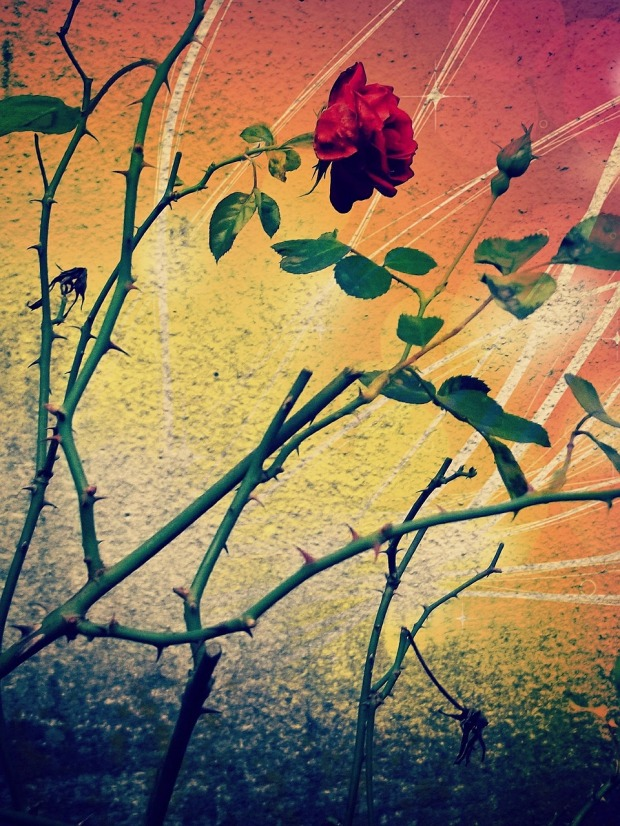 rose-532458_1280.jpg